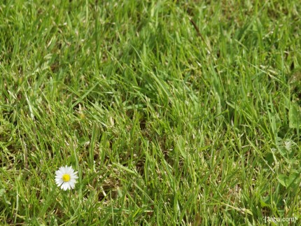 Daisy on grass